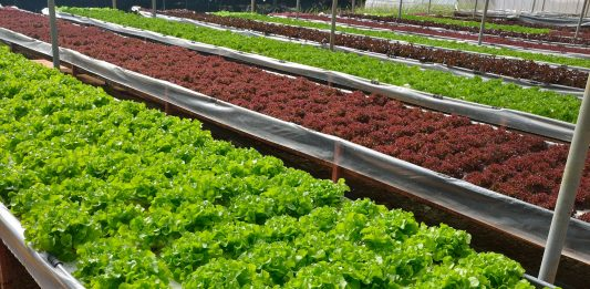 vegetables in the hydroponic farm